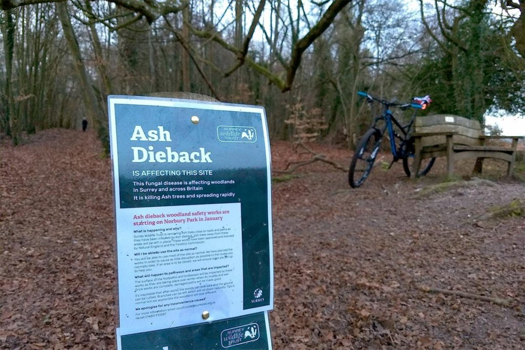 Ash Dieback in Norbury Park