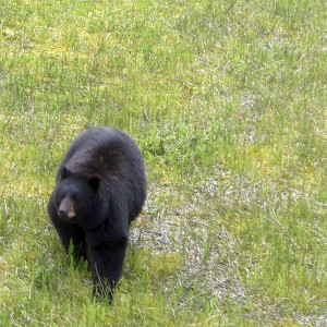 Black Bear in the Canadian wilds